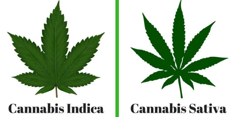 Cannabis Sativa és Cannabis Indica különbségek